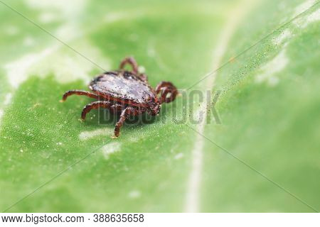 A Dangerous Parasite And Infection Carrier Mite Sitting On A Green Leaf.