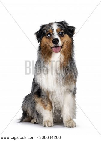 Handsome And Well Groomed Australian Shepherd Dog, Sitting Up Straigth Facing Front View. Looking To