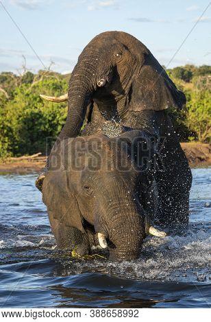 Vertical Portrait Of Two Elephants In Water In Chobe River In Botswana