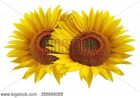 Two Sunflower Flower Isolated On White Background. Ripe Sunflower With Yellow Petals, Top View.