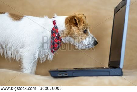 Smart Happy Obedient Jack Russell Terrier Puppy Looking To A Laptop On The Sofa. Pet Training Concep