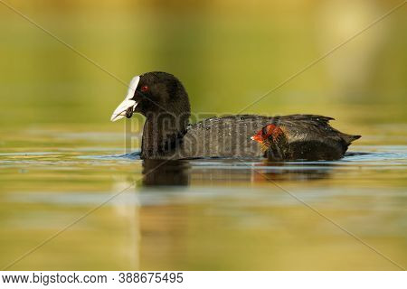 Eurasian Coot (fulica Atra) With Chicks Youngster, Called Common Coot, Australian Coot, Is A Member