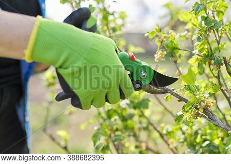 Spring Pruning Of Garden Fruit Trees And Bushes, Close-up Of Gloved Hands With Garden Scissors Pruni