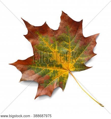 Autumn Maple Leaf Isolated On White Background With Shadows, Clipping Path  For Isolation Without Sh