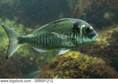 The Gilthead Bream (sparus Aurata) In Aquarium.