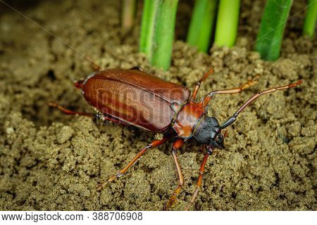 This Is A Titan Beetle Or Beetle Titanium Or Longhorned Beetles, The Beetle That Destroys The Cane R