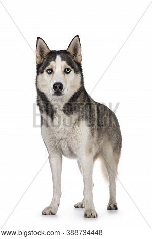 Beautiful Young Adult Husky Dog, Standing Facing Front. Looking Towards Camera With Light Blue Eyes.