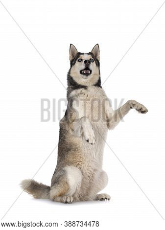 Beautiful Young Adult Husky Dog, Sitting On Hind Paws. Looking Up With Light Blue Eyes. Mouth Open.