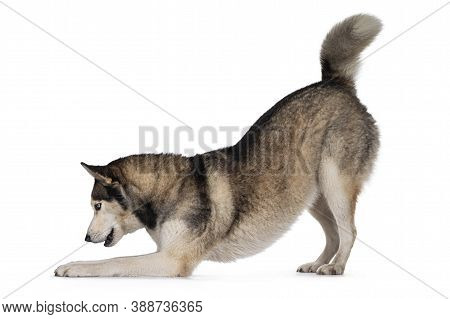 Pretty Young Adult Husky Dog, Bowed Down Side Ways. Looking Towards Camera With Light Blue Eyes. Iso