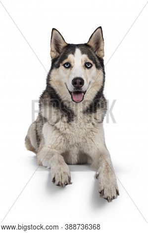 Pretty Young Adult Husky Dog, Laying Down Facing Front With Paws Over Edge. Looking Towards Camera W