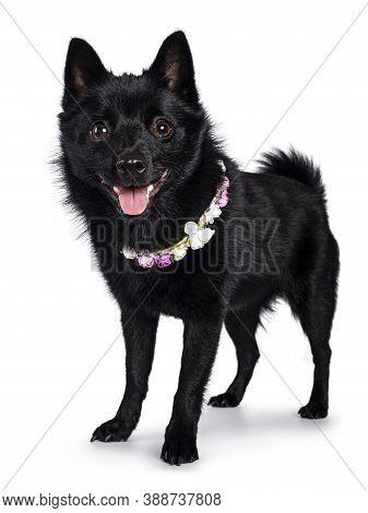 Cute Solid Black Schipperke Dog, Standing Slightly Side Ways Wearing Flowers Around Neck. Looking Cu