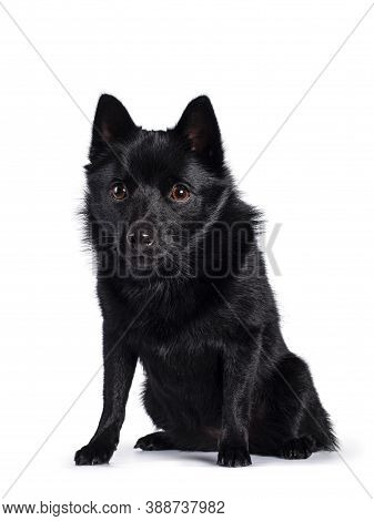 Cute Solid Black Schipperke Dog, Sitting Up Facing Front. Head Down, Looking Beside Lens With Brown
