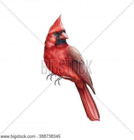 Red Cardinal Bird Watercolor Illustration. Hand Drawn Close Up Single Beautiful Bird. Christmas And