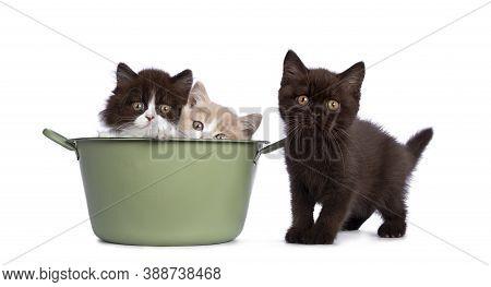 Cute Trio Of British Shorthair / Longhair Kittens In Varied Colors, Sitting In And Beside Green Wash