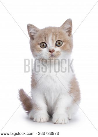 Cute Creme With White Bicolor British Shorthair Cat Kitten, Sitting Facing Front. Looking Towards Ca