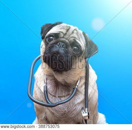 Portrait Of A Cute Pug Dog As A Medicine Doctor With A Stetoscope. Portrait