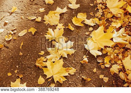 Yellow Maple Leaves On The Wet Asphalt Surface. Golden Leaves. Autumn Foliage. Golden Fall In The Ci