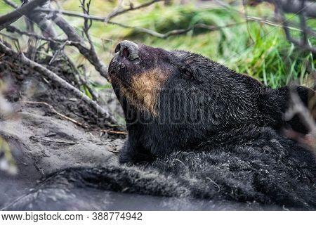 Cute Looking Black Bear Getting Ready For Hibernate Sleeping