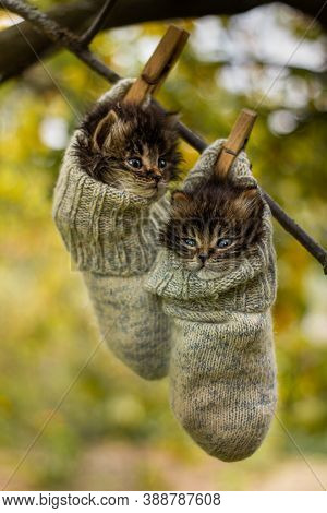 Two Grey Siberian Kitten Hanging On A Tree In Woolen Socks.