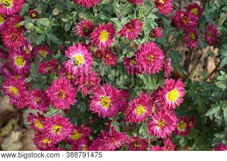Cerise And Yellow Flowers Of Chrysanthemums In November