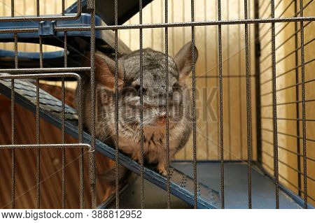 Chinchilla Sits In A Cage And Looks At Us