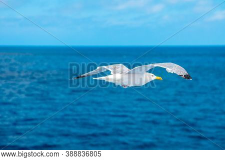 Seagull Flying On The Sea. Stavanger, Norway. A Standing European Herring Gull, Larus Argentatus, A