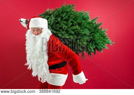 Santa Man Carrying Christmas Tree. Christmas, New Year, Holidays. Christmas Decor Concept. Bearded M