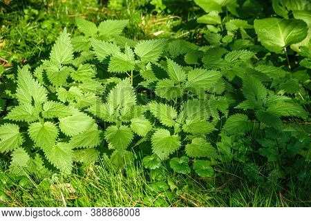 The Nettle, Urtica Dioica, With Green Leaves Grows In Natural Thickets. Medicinal Wild Plant Nettle.