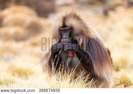 Portrait Of Alpha Male Of Endangered Endemic Animal Monkey Gelada Baboon. Theropithecus Gelada, Debr