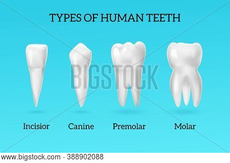 Types Of Human Teeth Realistic Set With Incisor Canine Premolar And Molar On Blue Background Isolate