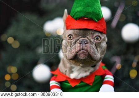 Portrait Of Funny French Bulldog Dog Dressed Up As Christmas Elf Wearing Costume With Green And Red