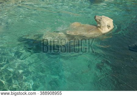 A Polar Bear Floats On Its Back In Blue Clear Water, A Calm Confident Wild Animal