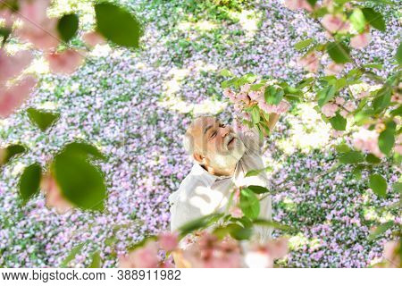 Harmony Concept. Mature Man Looking Up With Hope. Happy Man Under Spring Sakura Blossom. Daydreaming