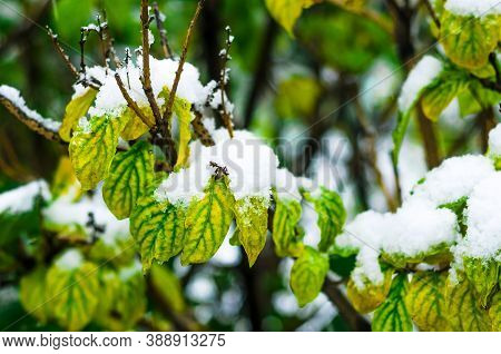 White Snow Lies On The Branch Of A Tree With Green Leaves. Approach Of Winter. Meteorological Phenom