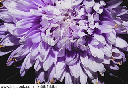 Chrysanthemum Flower With Violet Petals