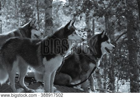 Husky On A Walk. Cute Dogs In The Park. Domestic Pets