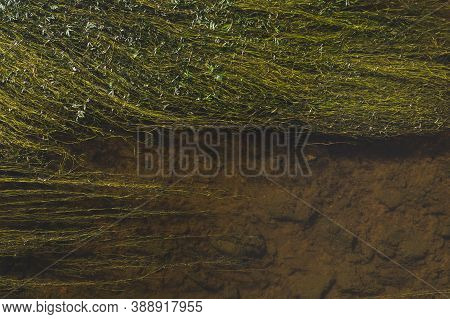 Green Algae Blooms On The Surface Of The Pond. Swamp Water Abstract Background