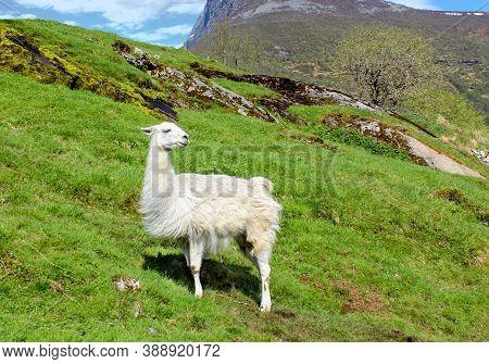 White Natural Llama In A Green Mountain Pasture. Natural Habitat.