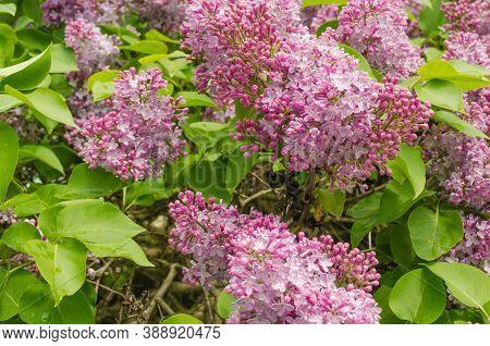 Summer Lilac Flowers Bush Branch. Beautiful Lilac Flowers.spring Blossom. Blooming Lilac Bush With T