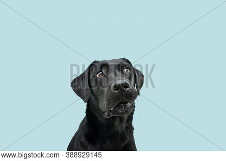 Funny Black Labrador Dog Looking Up Giving You Whale Eye Caught Red-handed With Guilty Expression. I