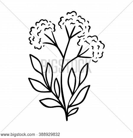 Valerian Outline Hand Drawn Element. Herbs Doodle Botanical Icon Valerian For Logo. Herbal And Meado