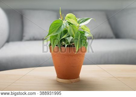 Philodendron Cream Splash In Clay Pot On Wooden Table In Living Room. Air Purifying Plants For Indoo