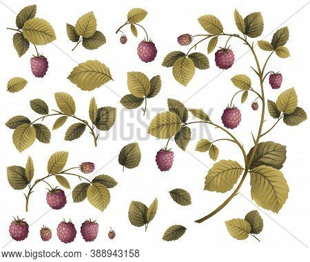 Raspberry Plant, Berries And Leaves, Hand Drawing Illustration