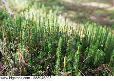 Beautiful Green Moss In The Sunlight, Moss Closeup, Macro. Beautiful Background Of Moss. Moss Autumn