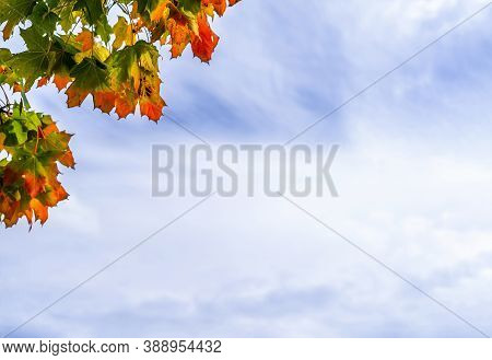 Autumn Maple Leaves With The Blue Sky And White Could Background,branches Tree With Green,yellow,ora