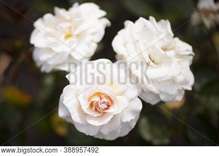 Light Pink Or Creamy Pink Dame Cath Floribunda Roses