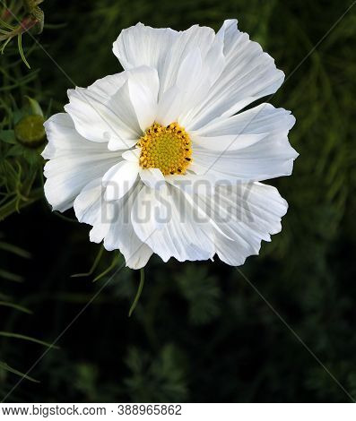 White Flowers With The Latin Name Cosmos Bipinnatus