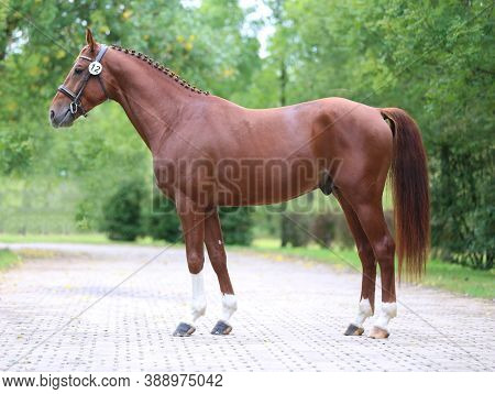 Beautiful Chestnut Horse Posing For Cameras On Breeders Inspection. Thoroughbred Warm Blooded Horse