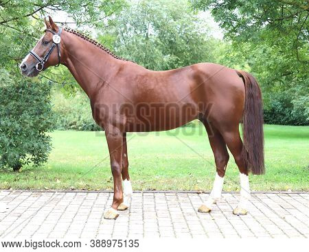Beautiful Chestnut Horse Posing For Camera On Breeders Inspection. Thoroughbred Warm Blooded Horse