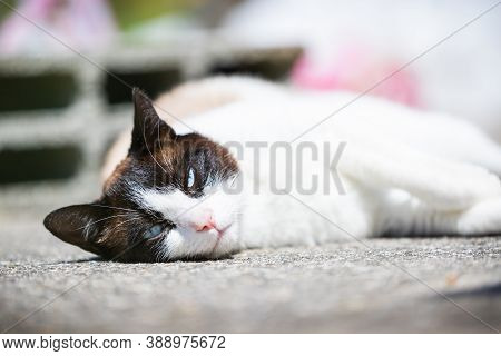 Siamese Ragdoll Crossbreed Cat Resting In The Sun On A Terrace